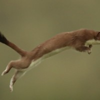 At Ease with the Weasel
